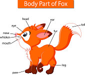 illustration of Diagram showing body part of fox