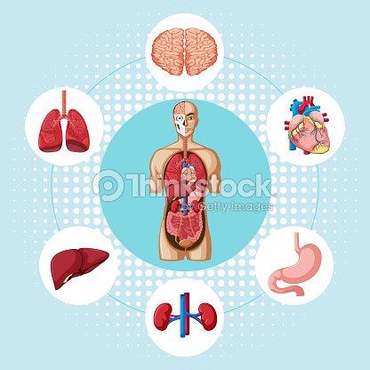 Diagrama Que Muestra Los Diferentes órganos Del Ser Humano Arte ...