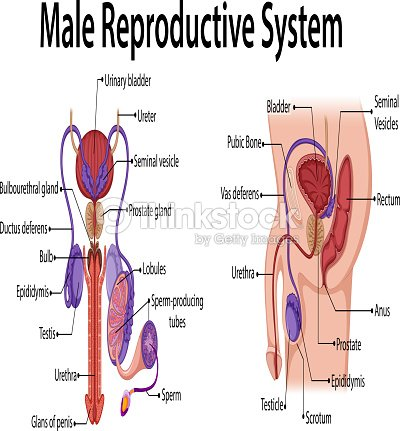 Diagram showing male reproductive system arte vetorial thinkstock diagram showing male reproductive system arte vetorial ccuart Choice Image