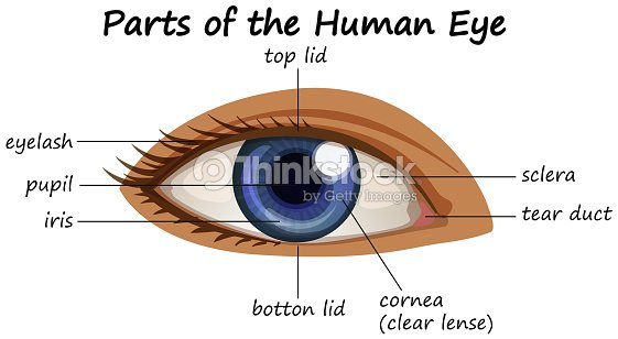 Diagram showing parts of human eye arte vetorial thinkstock diagram showing parts of human eye arte vetorial ccuart Choice Image