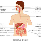 vector illustration of diagram of digestive system