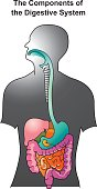 The human digestive system consists of the gastrointestinal tract plus the accessory organs of digestion. In this system, the process of digestion has many stages. Info graphic vector.