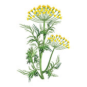 Dill herb with small yellow bloom, green stem and leaves that used as seasoning for dishes isolated cartoon vector illustration on white background.