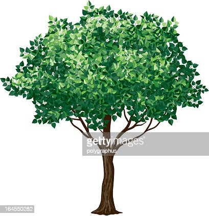 Drawing of a foliage tree on white background : Vector Art