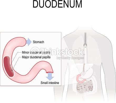 Duodenum Anatomy Vector Art | Thinkstock