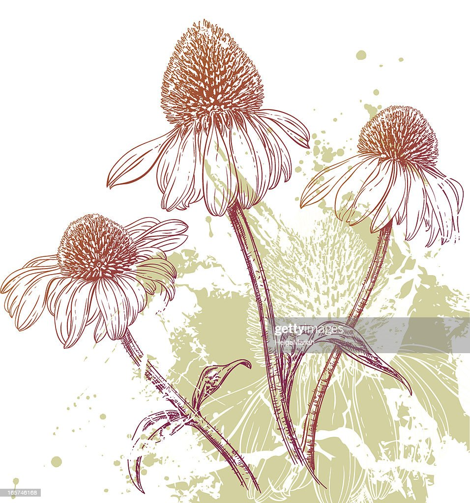Line Drawing Coneflower : Purple coneflower background vector art getty images