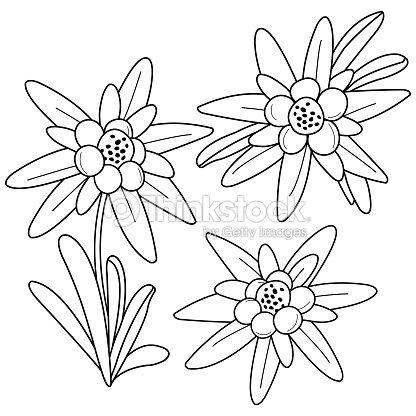 Fleurs dedelweiss noir et blanc livre de coloriage clipart vectoriel thinkstock - Coloriage fleur edelweiss ...