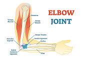 Elbow joint vector illustrated diagram, medical scheme. Educational injury information.