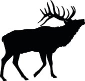 Elk bull making a mating call