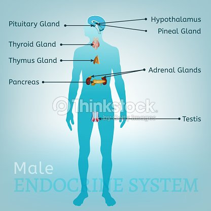 Endocrine system image arte vetorial thinkstock endocrine system image arte vetorial ccuart Image collections
