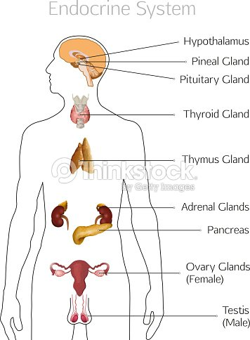 Endocrine System Image Vector Art Thinkstock