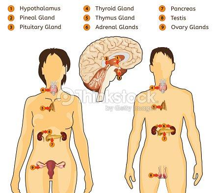 Endokrinen Systemimage Vektorgrafik | Thinkstock