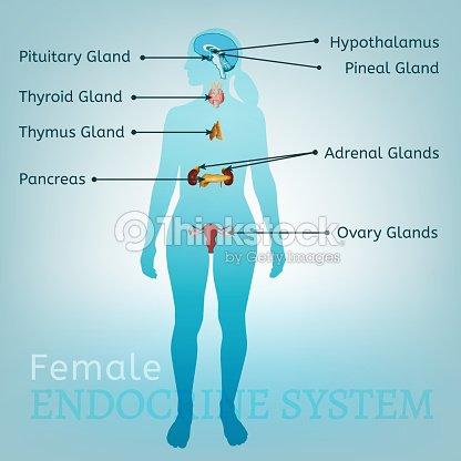 Endokrinen Systems Frau Vektorgrafik | Thinkstock