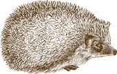 Vector antique engraving illustration of hedgehog isolated on white background