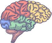 Engraving brain illustration, Hand Drawn Anatomical Illustration. Vector illustration