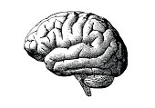 Engraving brain illustration in grayscale monochrome color on white background