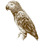 Vector antique engraving drawing illustration of african grey parrot isolated on white background