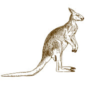 Vector antique engraving drawing illustration of big kangaroo isolated on white background