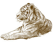 Vector antique engraving drawing illustration of siberian tiger or Amur tiger isolated on white background