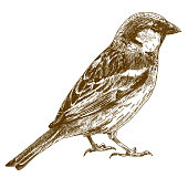 Vector engraving illustration of  hand drawn sparrow isolated on white background