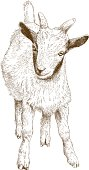 Vector antique engraving illustration of goat kid isolated on white background