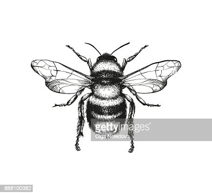 Engraving illustration of honey bee : Vector Art