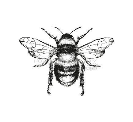 Engraving illustration of honey bee : arte vetorial