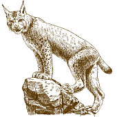 Vector antique engraving drawing illustration of lynx linx isolated on white background