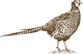 Vector antique engraving illustration of pheasant isolated on white background