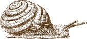 Vector antique engraving illustration of snail isolated on white background