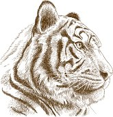Vector antique engraving illustration of tiger head isolated on white background