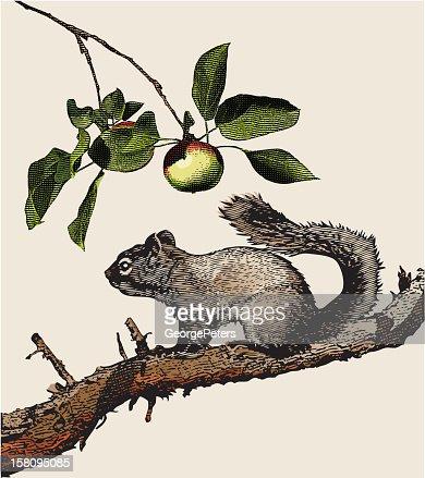 Engraving of Squirrel : Arte vectorial