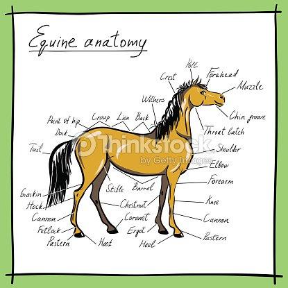 Equine Anatomy Parts Of Horse Vector Art   Thinkstock