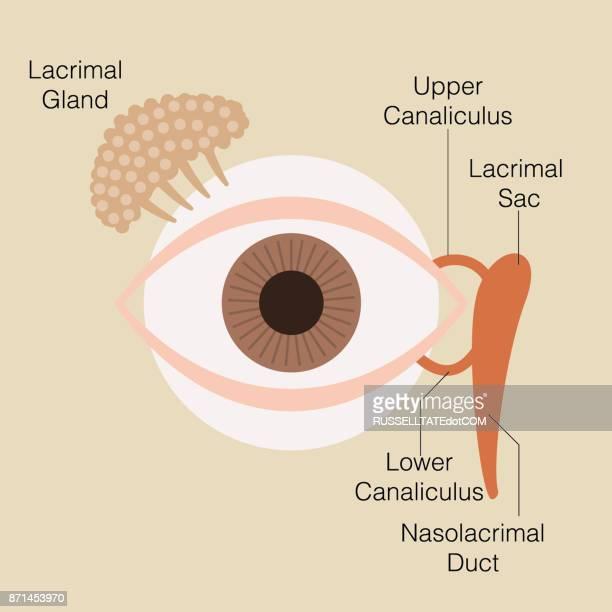 Auge-Tränendrüse