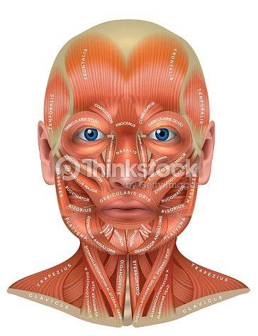 Gesicht Und Hals Muskeln Vektorgrafik | Thinkstock