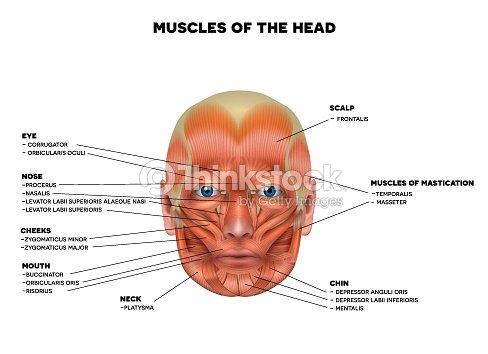Músculos Faciales Arte vectorial   Thinkstock