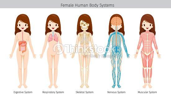 Anatomía Humana Femenina Sistemas Del Cuerpo Arte vectorial   Thinkstock