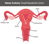 Female reproductive system detailed anatomy. Vector Medical illustration.
