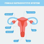 Female reproductive system flat info graphic. Human anatomy including fallopian tube Ovary Cervix Vagina and body of uterus with graphic elementHuman anatomy including fallopian tube Ovary Cervix Vagi