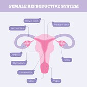Human anatomy including fallopian tube Ovary Fimbriae Cervix Vagina Myometrium and body of uterus with graphic element