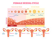Female sexual cycle vector illustration graphic diagram with menstruation and ovulation chart and uterus visualizations.