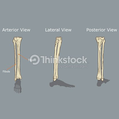 Anatomía De La Tibia Y Peroné Arte vectorial   Thinkstock