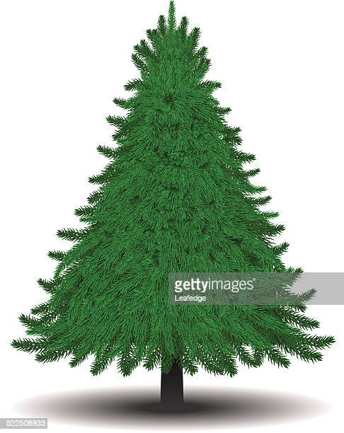 Fir tree [for Christmas tree]