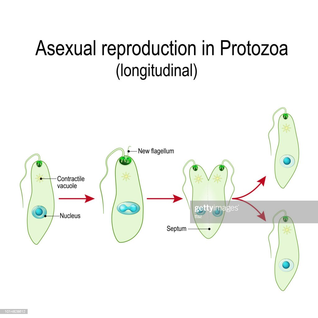 Asexual reproduction division