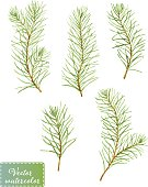 A set of 5 green pine branches. Vectorized watercolor drawing.
