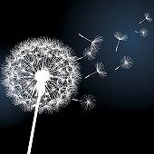 Flower dandelion white on black background. Vector illustration