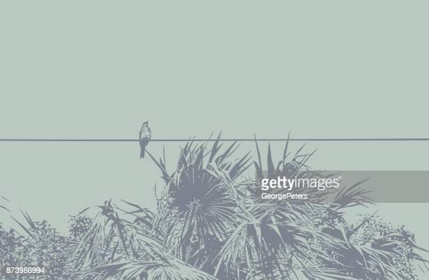 Fliegenfänger hocken auf einer Telefonleitung. Puerto Morelos, Mexiko.