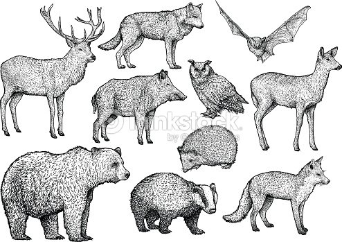 Forest animal illustration, drawing, engraving, ink, line art, vector : stock vector