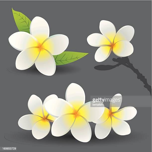 Frangipani Blumen (Plumeria
