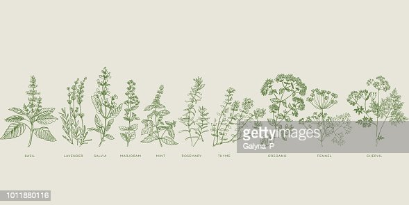 French cooking herbal sketch set : stock vector